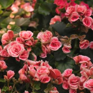 Begonia bloembollen